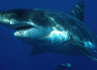Un tiburón en baleares