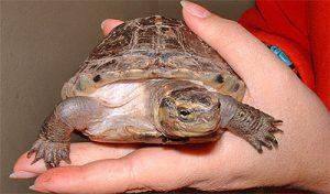 Un ejemplar de tortuga caja