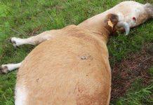 vaca extinción