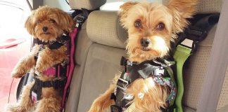 mascotas dentro del coche