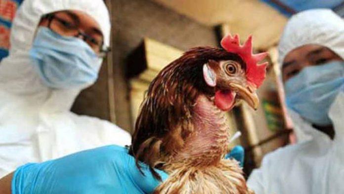 Confirman cuatro casos de gripe aviar en España