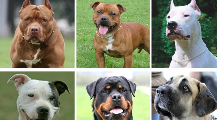 El Gobierno de Sánchez eliminará el listado de perros potencialmente peligrosos: consulta las razas afectadas