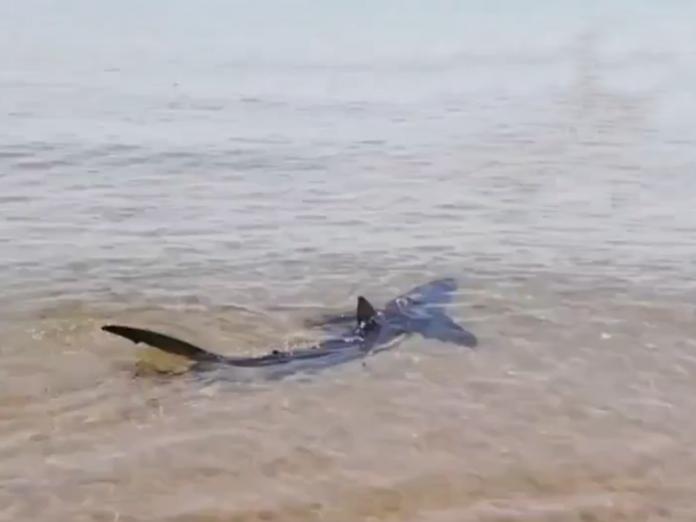 Un tiburón azul aparece en una playa de Valencia