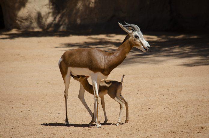 Nace en Bioparc Valencia una especie salvada de la extinción