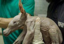 """Nace un oricteropo, el animal más """"extraño"""" del Bioparc"""