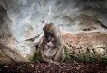Uno de los primates más amenazados de África nace en BIOPARC