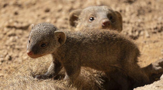 Nacen en Bioparc tres camadas de dos especies de mangostas distintas