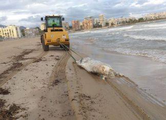Aparece una vaca muerta de 600 kilos en una playa valenciana